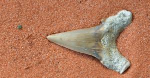 shark tooth fossil at sharktooth hill